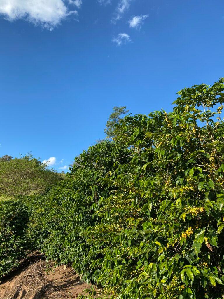 Árvores de café da espécie arábica e variedade Bourbon Amarelo do Sítio Jacarandá