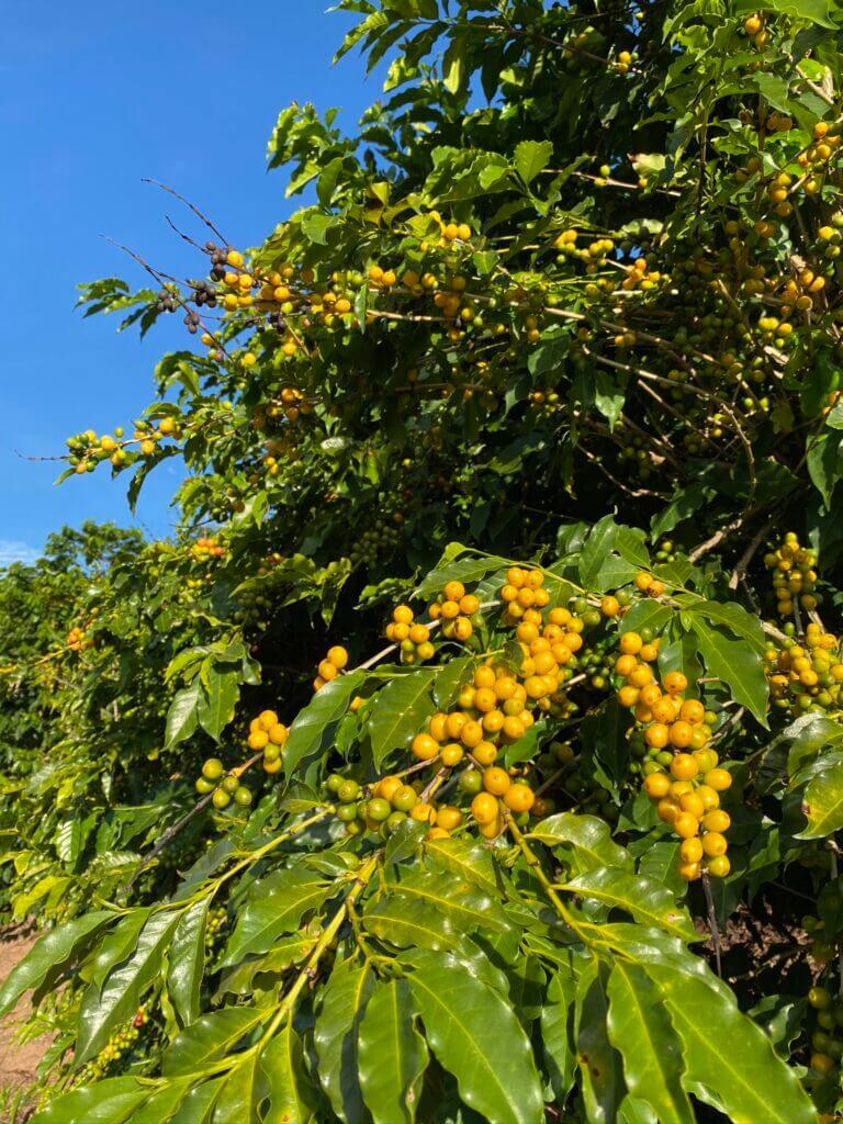 Frutos de café Bourbon Amarelo maduros, nas árvores do Sítio Jacarandá