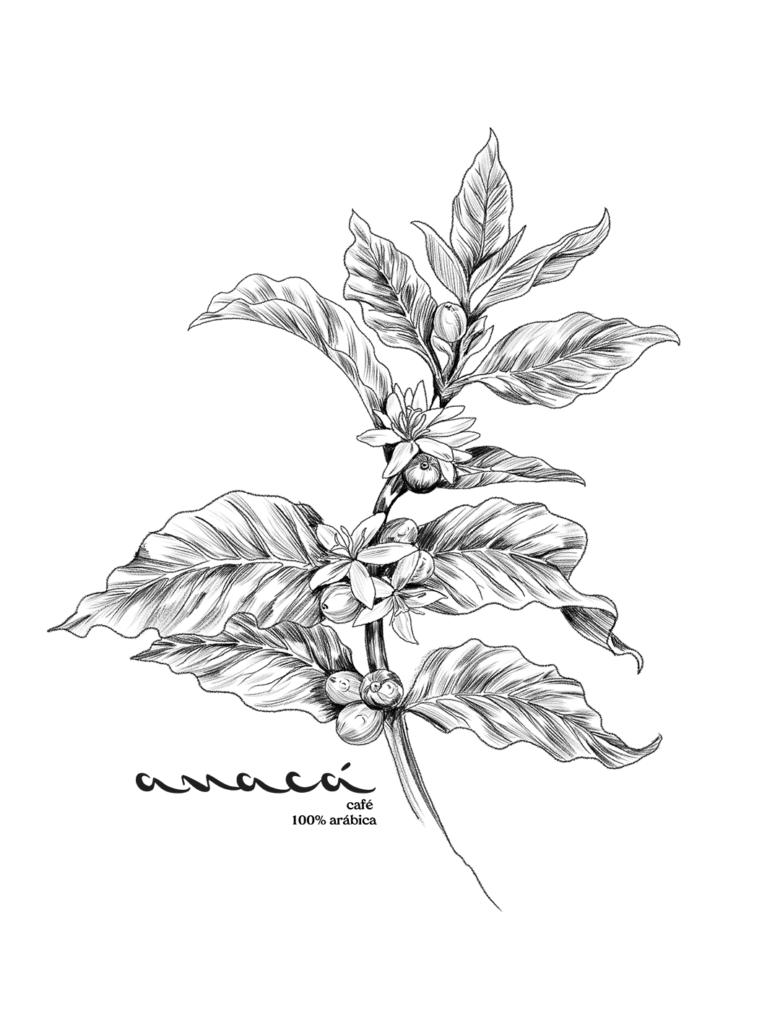 Ilustração em nanquim de um ramo de café com frutos e flores