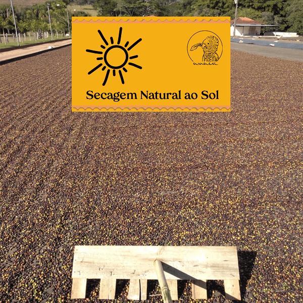 Fotografia dos frutos de café maduros espalhados no chão para secagem natural ao sol e um rodo de madeira para espalhar os frutos
